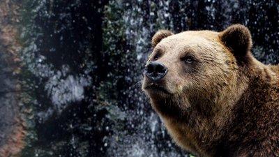 Resultado de imagem para urso pardo