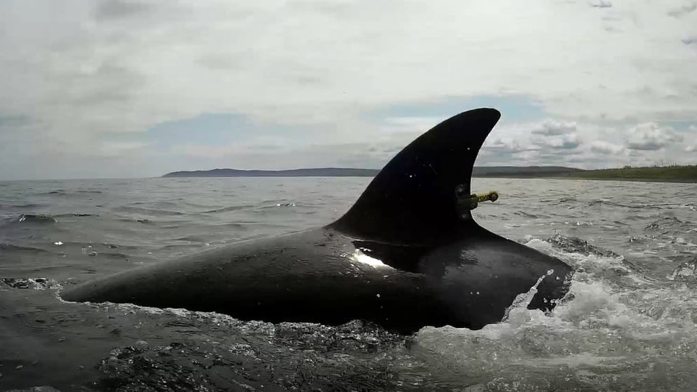 epa07677663 A handout picture made available by the press service of the Russian Federal Research Institute of Fisheries and Oceanography (VNIRO) shows an orca swimming in the sea waters after being released by VNIRO specialists in the sea of Okhotsk on Cape Perovsky in the Khabarovsk region, Russia, 27 June 2017. The first group of the mammals consisting of two orcas and six belugas from the so called 'whale jail' was released into the wild. The rest of the sea mammals, about 90, trapped in the 'whale jail' are expected to be released in the sea by October 2019. Cubs of orcas and belugas were illegally caught in the Sea of Okhotsk in the summer of 2018 and are still kept in enclosures at the bay Srednyaya in Primorsky Krai. According to Greenpeace and other environmental organizations, trappers prepared animals for sale in Chinese aquariums.  EPA/VNIRO HANDOUT  HANDOUT EDITORIAL USE ONLY/NO SALES