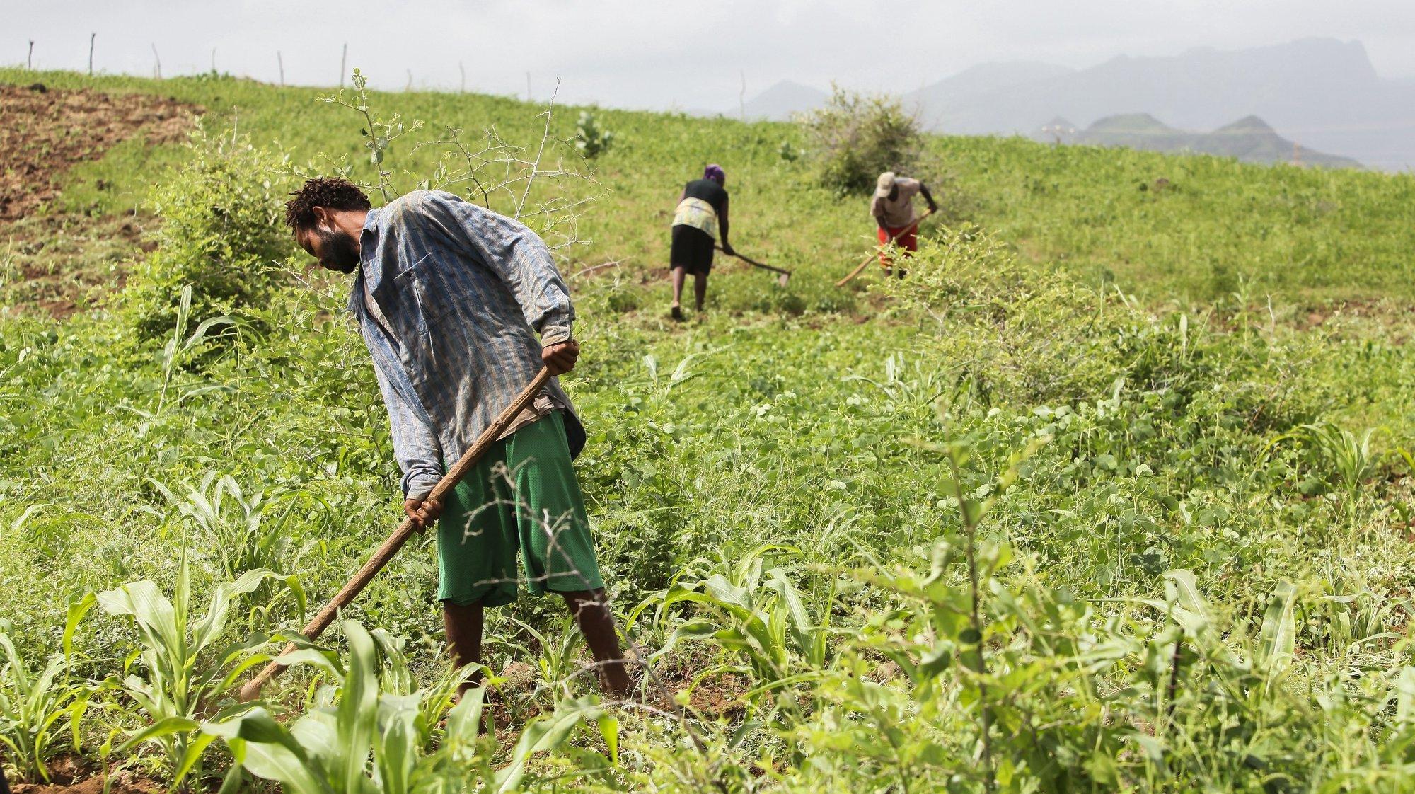 Apesar de pouca, as chuvas no início de setembro permitiram a cultura de milho e há campos cobertos de verde, pasto para os animais e água abundante nas ribeiras, como não se via nos últimos três anos de seca no país. Noutros concelhos, os agricultores lutam contra as pragas de gafanhotos e da lagarta do cartucho do milho e pedem mais chuvas para ainda garantir um bom ano agrícola. Ilha de Santiago, Cabo Verde, 29 de setembro de 2020. No início de setembro, o ministro da Agricultura e Ambiente de Cabo Verde, Gilberto Silva, disse que as chuvas em todo o arquipélago já garantem pasto, mas afirmou que ainda é preciso mais precipitações para produção de milho e feijões e recarga dos lençóis freáticos. ( ACOMPANHA TEXTO DO DIA 4 DE OUTUBRO DE 2020) FERNANDO DE PINA/LUSA