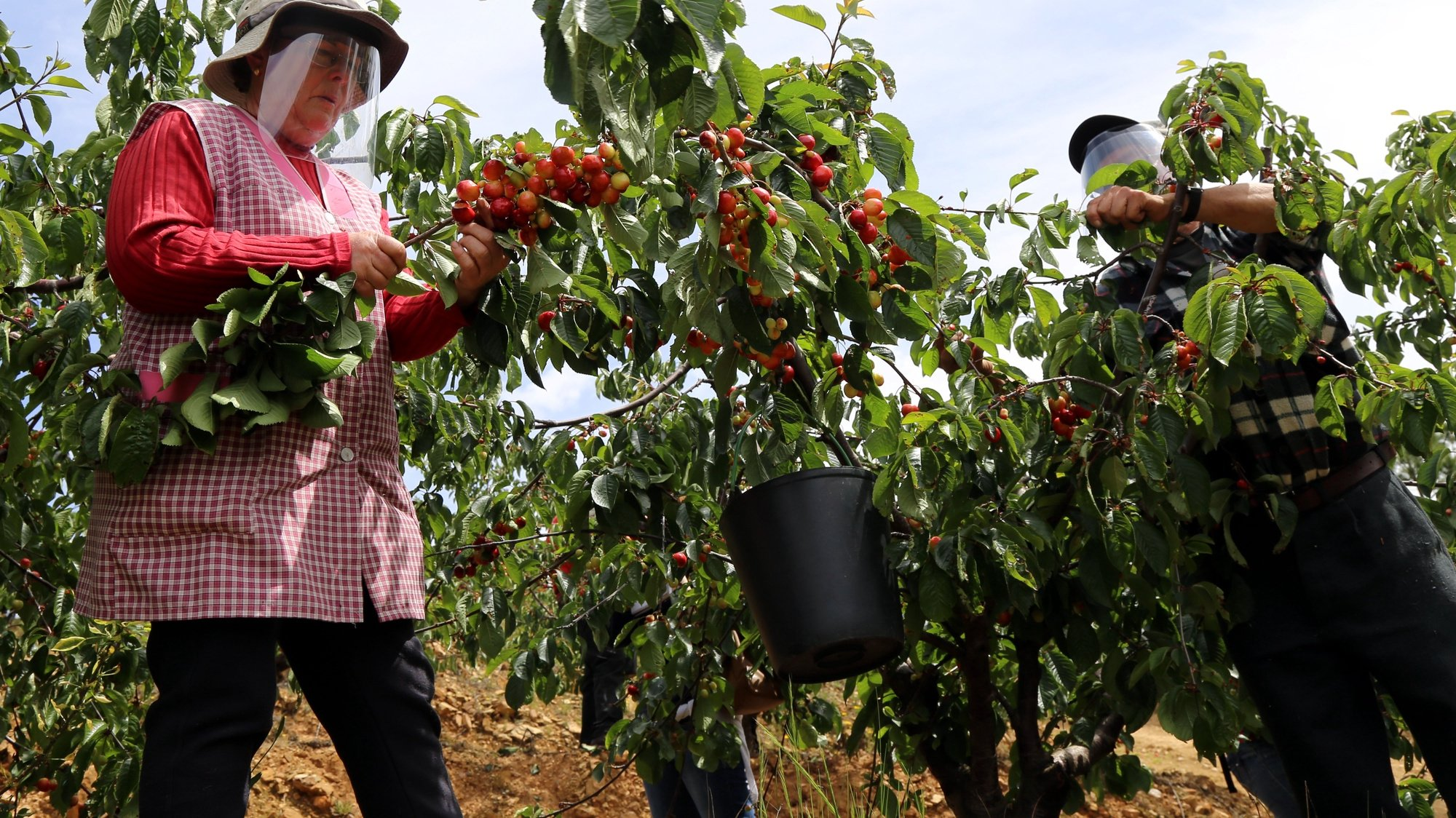 Trabalhadores da apanha da cereja utilizam máscaras e viseiras de proteção como medidas de segurança contra a covid-19, Fundão, 7 de maio de 2010. (ACOMPANHA TEXTO DE 08/05/2020) ANTÓNIO JOSÉ/LUSA