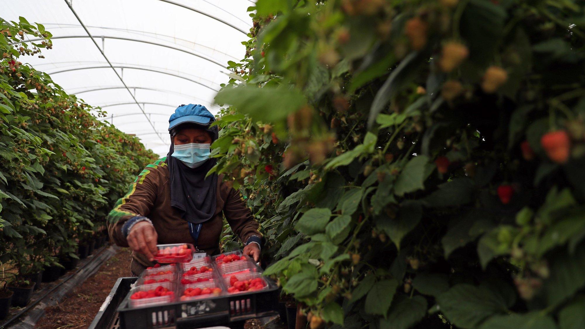 Uma trabalhadora apanha framboesas numa estufa de uma empresa de exportação de frutos vermelhos, que aumentou 20% o seu volume de negócios neste ano, apesar dos desafios impostos pela pandemia de covid-19 que a obrigaram a repensar a sua estratégia no mercado, em Odemira, 16 de dezembro de 2020. (ACOMPANHA TEXTO DA LUSA DO DIA 01 DE JANEIRO DE 2021). NUNO VEIGA/LUSA