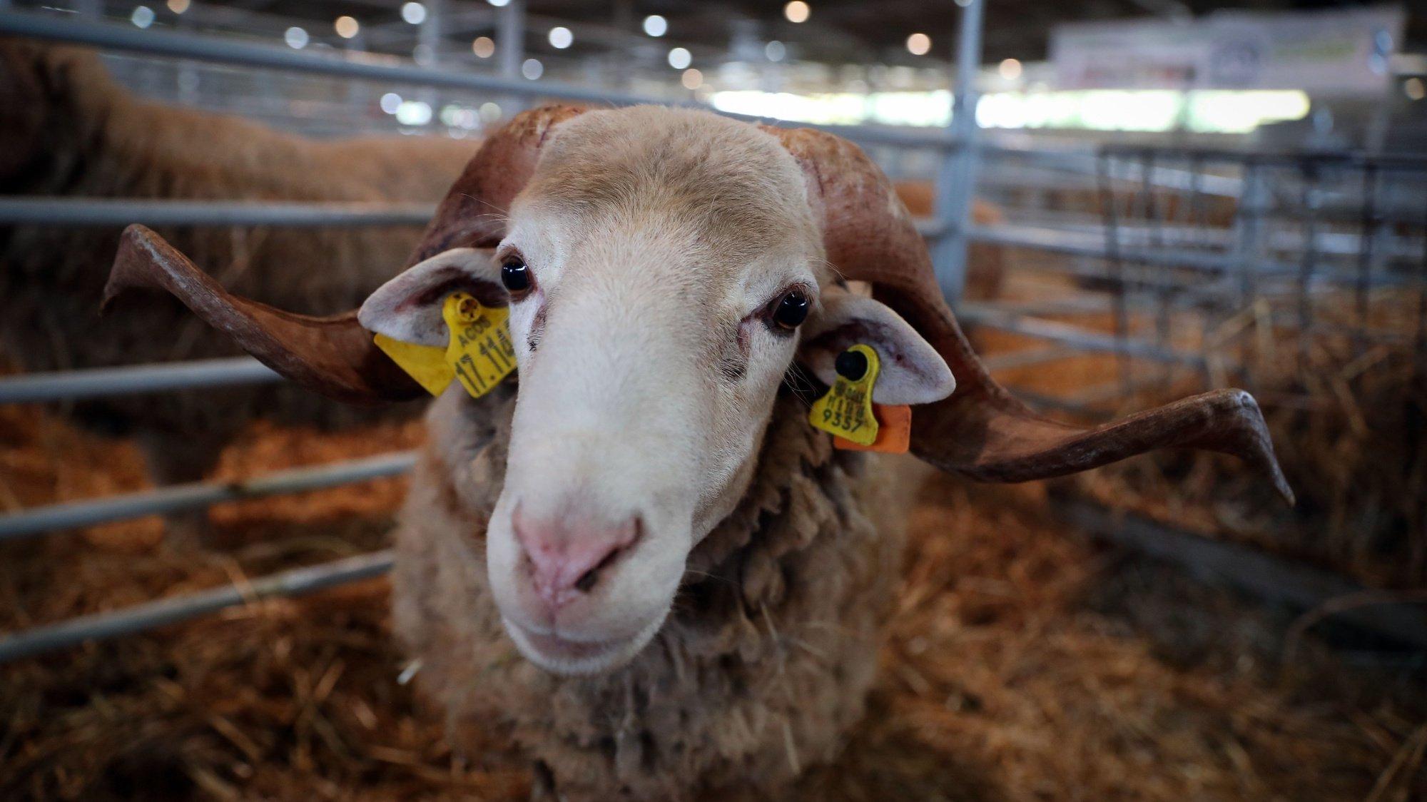 """Animais no pavilhão do gado onde os efeitos das alterações climáticas na agricultura é o tema da edição deste ano da feira agropecuária Ovibeja, que arranca hoje, """"cheia"""" e com """"mais de mil expositores"""" para mostrar """"todo o Alentejo deste mundo"""", Beja, 23 de abril de 2019. De acordo com a ACOS, estão presentes """"mais de mil expositores"""" de diversos setores de atividade e distribuídos por vários pavilhões instalados numa área de 10 hectares do parque. (ACOMPANHA TEXTO DE 24 DE ABRIL DE 2019). NUNO VEIGA/LUSA"""