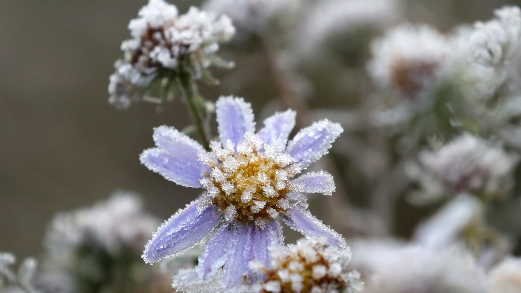 epa05600354 Flowers are covered in frost at a roadside along Daegwallyeong, a mountain pass in the eastern Gangwon Province, South Korea, 24 October 2016. Temperatures dropped to minus 0.5 degrees Celsius, early on the same day, the lowest in the region this fall.  EPA/YONHAP SOUTH KOREA OUT