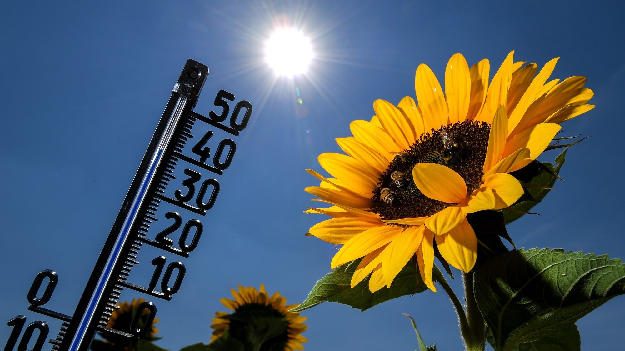 epa06913418 A thermometer among sunflowers shows an outside temperature of 39 degrees celsius in Kamp-Lintfort, Germany, 27 July 2018. According to metereologists, temperatures are expected to rise to over 35 degrees nationwide and close to 40 degrees. The German Weather Service (DWD) has issued a heat warning for large parts of Germany.  EPA/SASCHA STEINBACH
