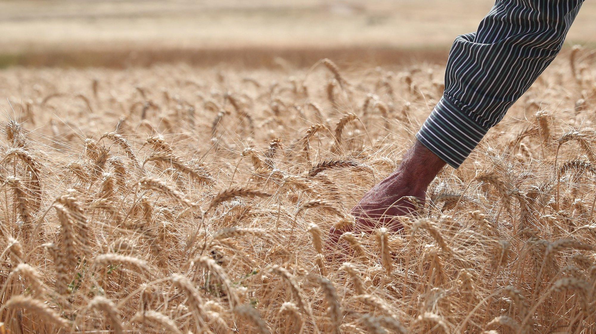 """O professor da Escola Superior Agrária de Beja José Dores observa o crescimento do trigo em Castro Verde, 24 de maio de 2021. Sem acesso ao Alqueva e com as alterações climáticas a causarem mais problemas, os agricultores do Campo Branco, no distrito de Beja, estão a trabalhar em busca de novos """"nichos"""" de mercado para valorizar as suas produções. (ACOMPANHA TEXTO DO DIA DE 05 DE JUNHO DE 2021). NUNO VEIGA/LUSA"""