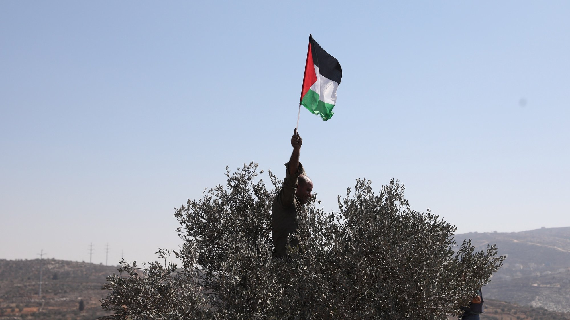 epa09516507 Palestinian waves Palestine flag over olive tree as voulnteers and demonstrators help Palestinian farmers to pick their olives next to the Israeli outpost of Evitar near the village of Beita near Nablus City, 10 October 2021. Palestinian and foreign volunteers and activists pick olives in solidarity with Palestinians whose land was confiscated by Israeli settlers.  EPA/ALAA BADARNEH