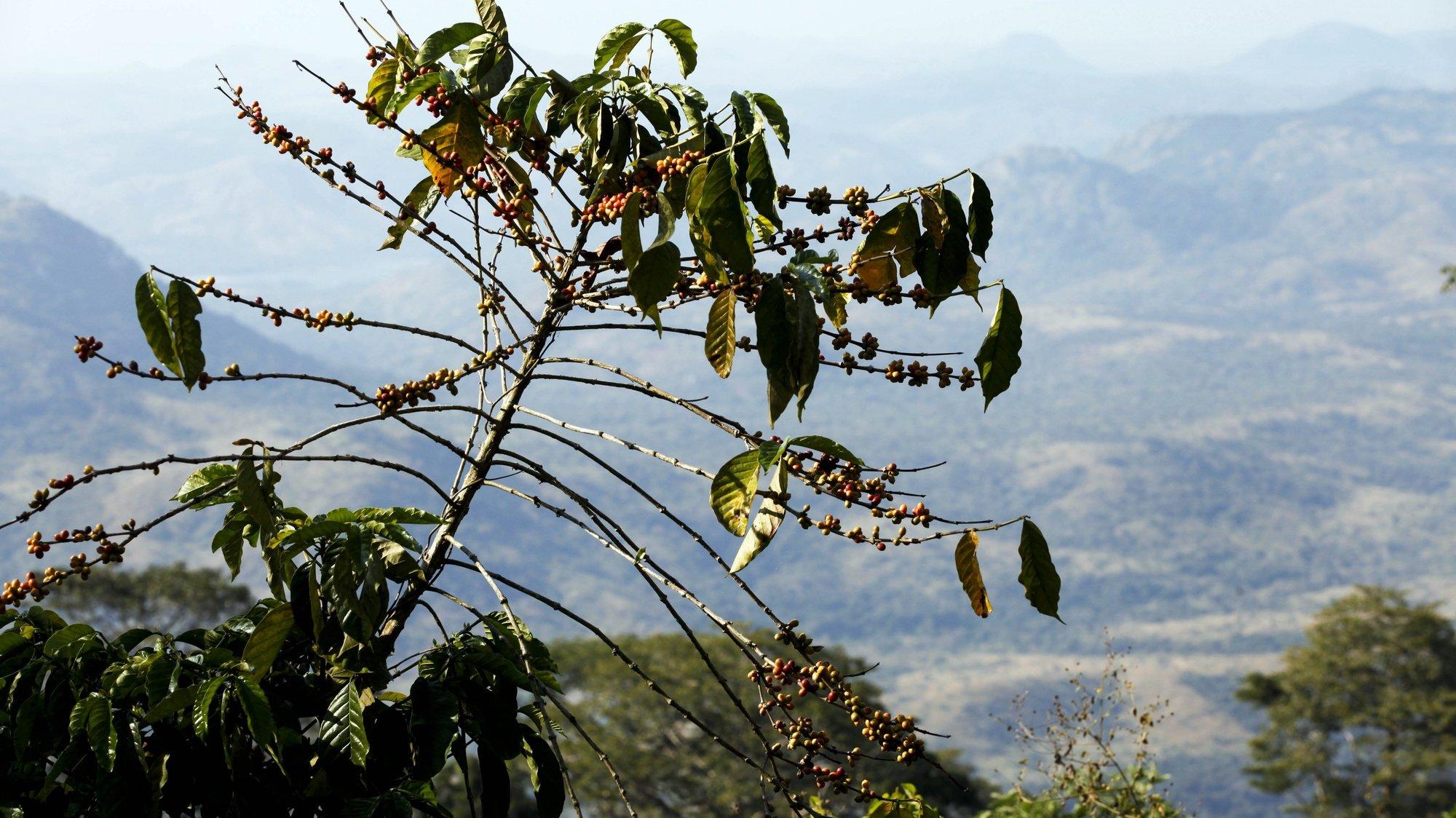 """Uma planta de café na fazenda Cabuta, a maior fazenda de café do país localizada no Calulo, província do Cuanza Sul, a 300 quilómetros de Luanda, Angola, 28 de outubro de 2015. A Fazenda Cabuta produz """"num ano bom de chuva"""" até 400 toneladas de café. (ACOMPANHA TEXTO) PAULO CUNHA/LUSA"""