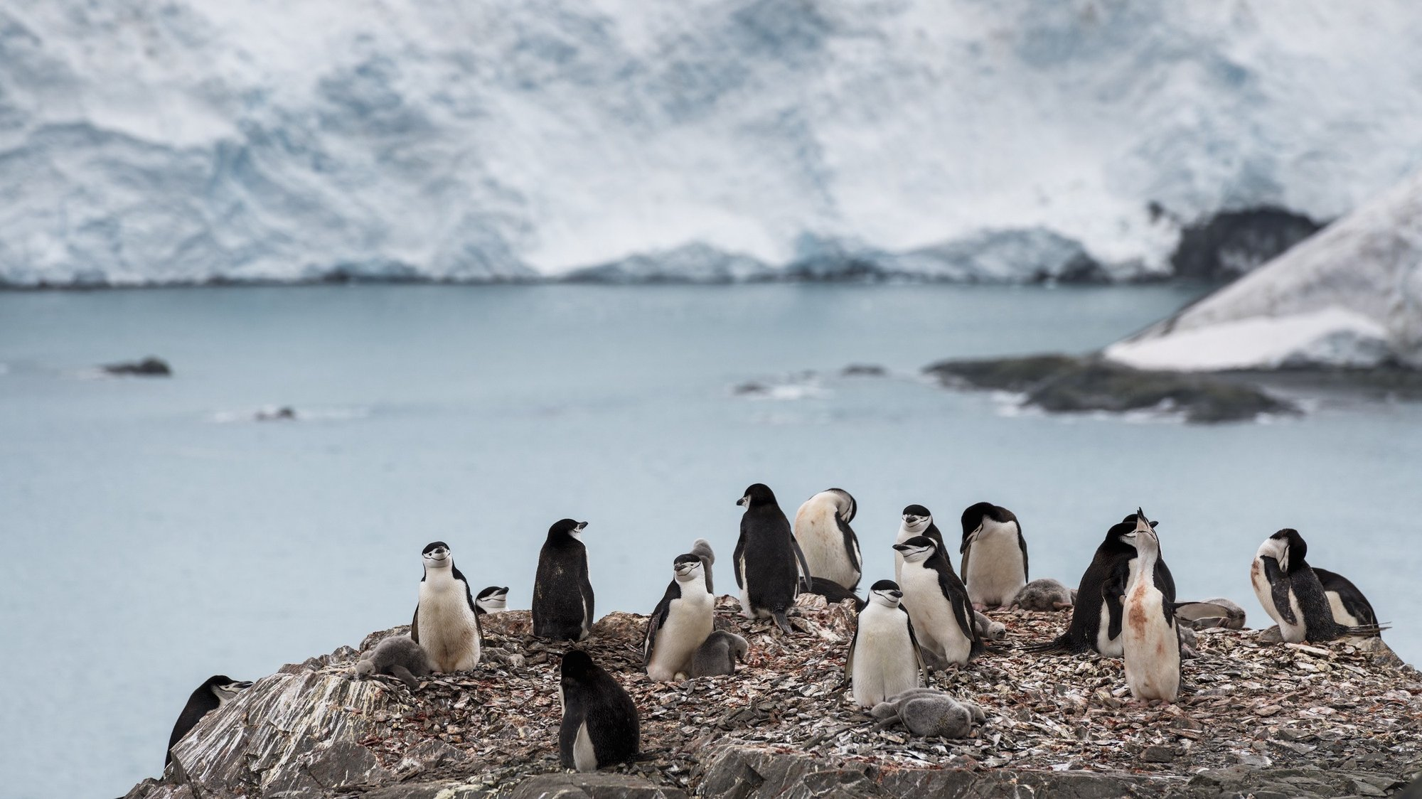epa08211941 A handout photo made available by Greenpeace shows a group of chinstrap penguins on Elephant Island, Antarctica 11 February 2020. The population of chinstrap penguins fell by up to 77% in some Antarctic colonies in the last fifty years, with an average depopulation of around 60%, the Greenpeace environmental organization said Tuesday.  EPA/Christian Aslund / Greenpeace HANDOUT  HANDOUT EDITORIAL USE ONLY/NO SALES