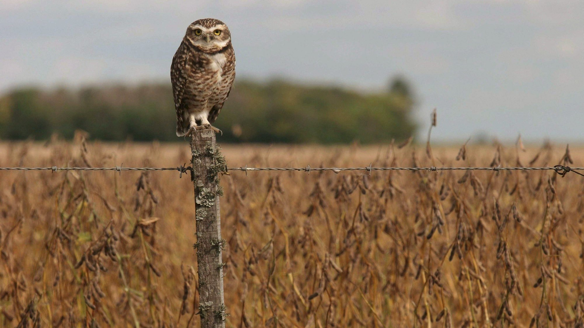 epa01298048 An owl stands in a fence next to a soy plantation in the municipality of Pujato, near of the city of Rosario, province of Santa Fe, around 300 kms North of Buenos Aires, Argentina on 27 March 2008. In the majority of regions of the country is held the 14th Agriculture National Strike as due to the increase in the beans commerce importations decree by the National government.  EPA/HECTOR RIO