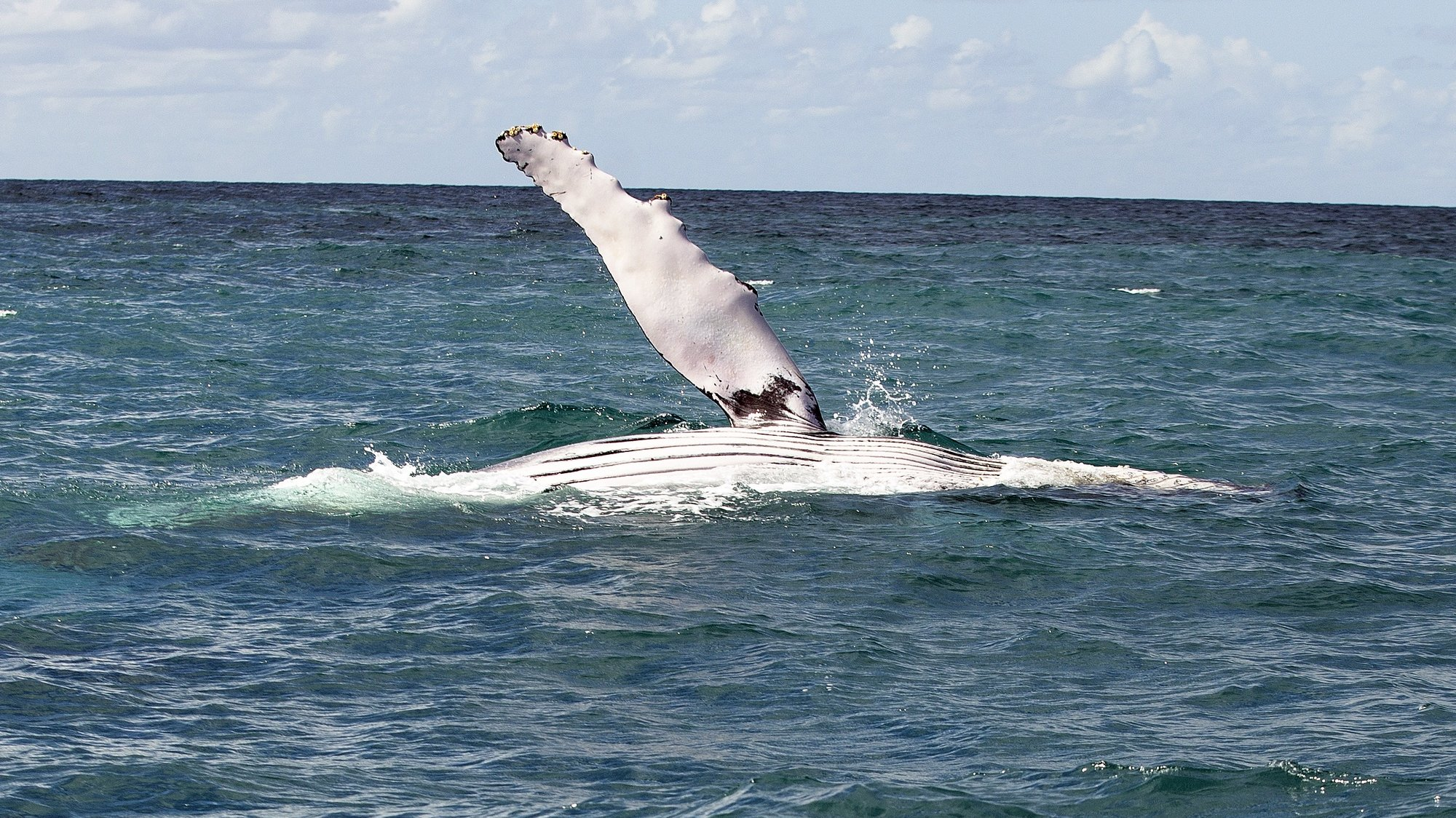 epa06920617 A humpback whale jumps out to sea at the Abrolhos archipelago, located on the southern coast of the state of Bahia, Brazil, 25 July 2018 (issued 31 July 2018). About 20,000 humpback whales travel between July and November to the temperate and clear waters of the Brazilian coast, specifically the Abrolhos archipelago, the largest reproductive cradle at the South Atlantic Ocean and where cetaceans attracts thousands of tourists every year.  EPA/JOEDSON ALVES