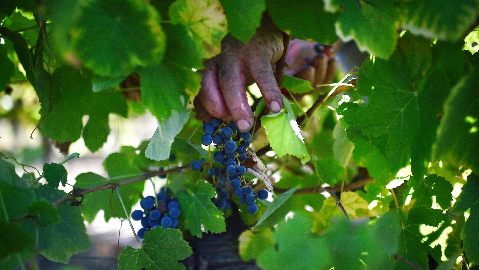 Trabalhadores durante o corte das uvas numa vindima no Dão, em Nelas, Viseu, 15 de setembro de 2020. (16 DE SETEMBRO DE 2020). NUNO ANDRÉ FERREIRA/LUSA