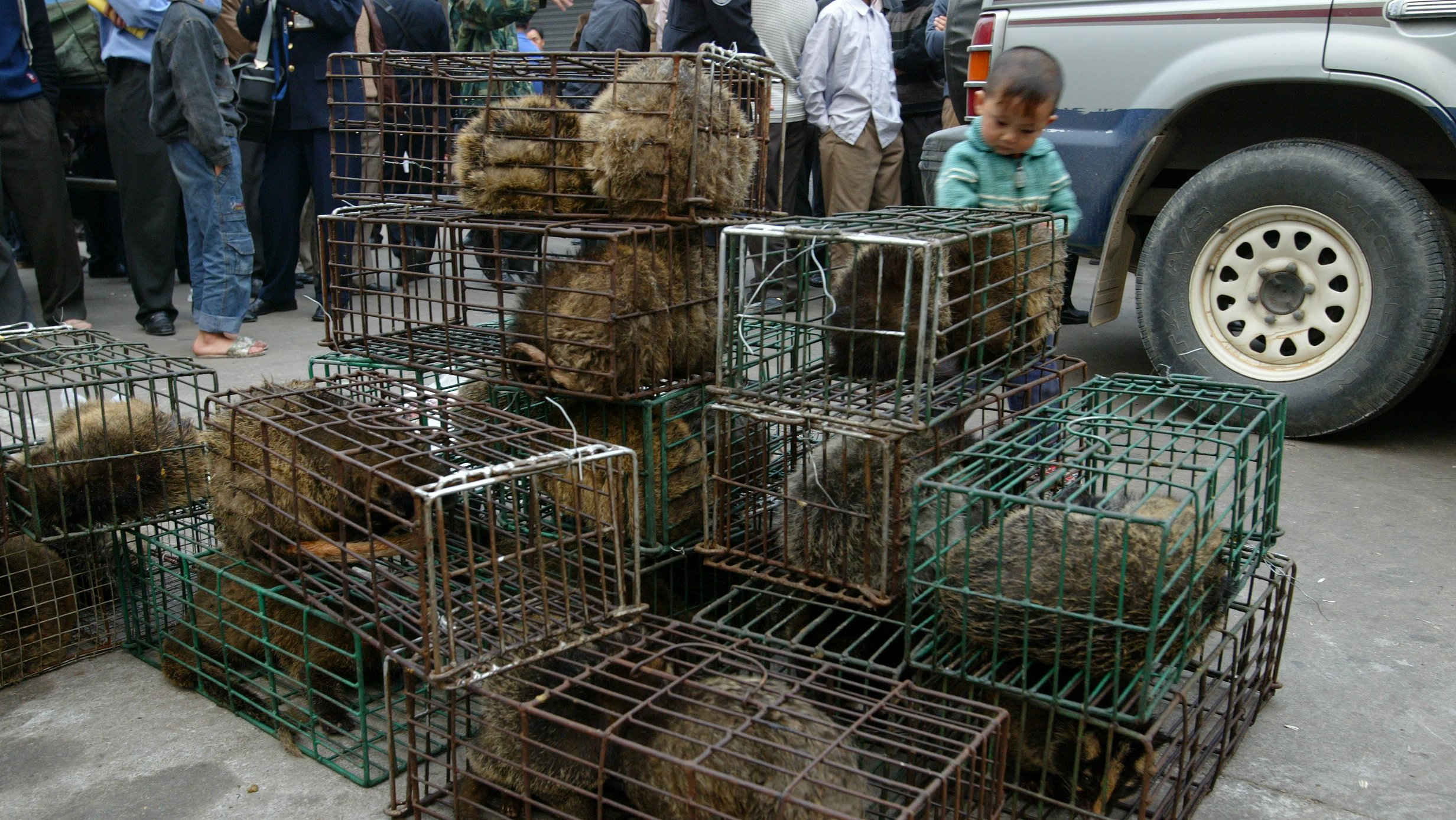 Guangzhou government officers seize civet cats in Xinyuan wildlife market in Guangzhou to prevent the spread of the SARS disease. The similarities in the genetic sequences of the virus in a recent SARS patient and civets are found. 05 January 2004
