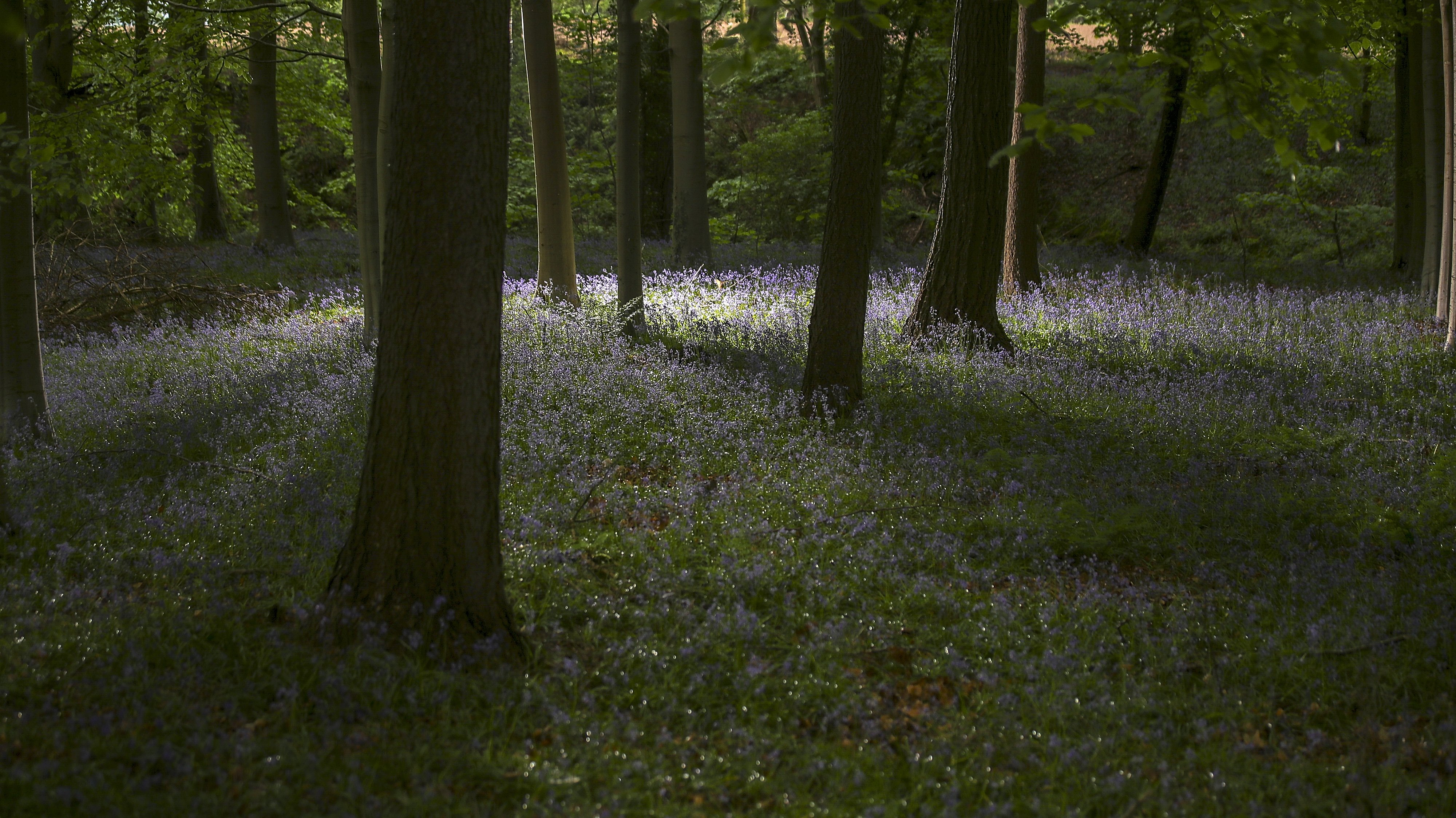 Bluebells In Bloom In Knutsford