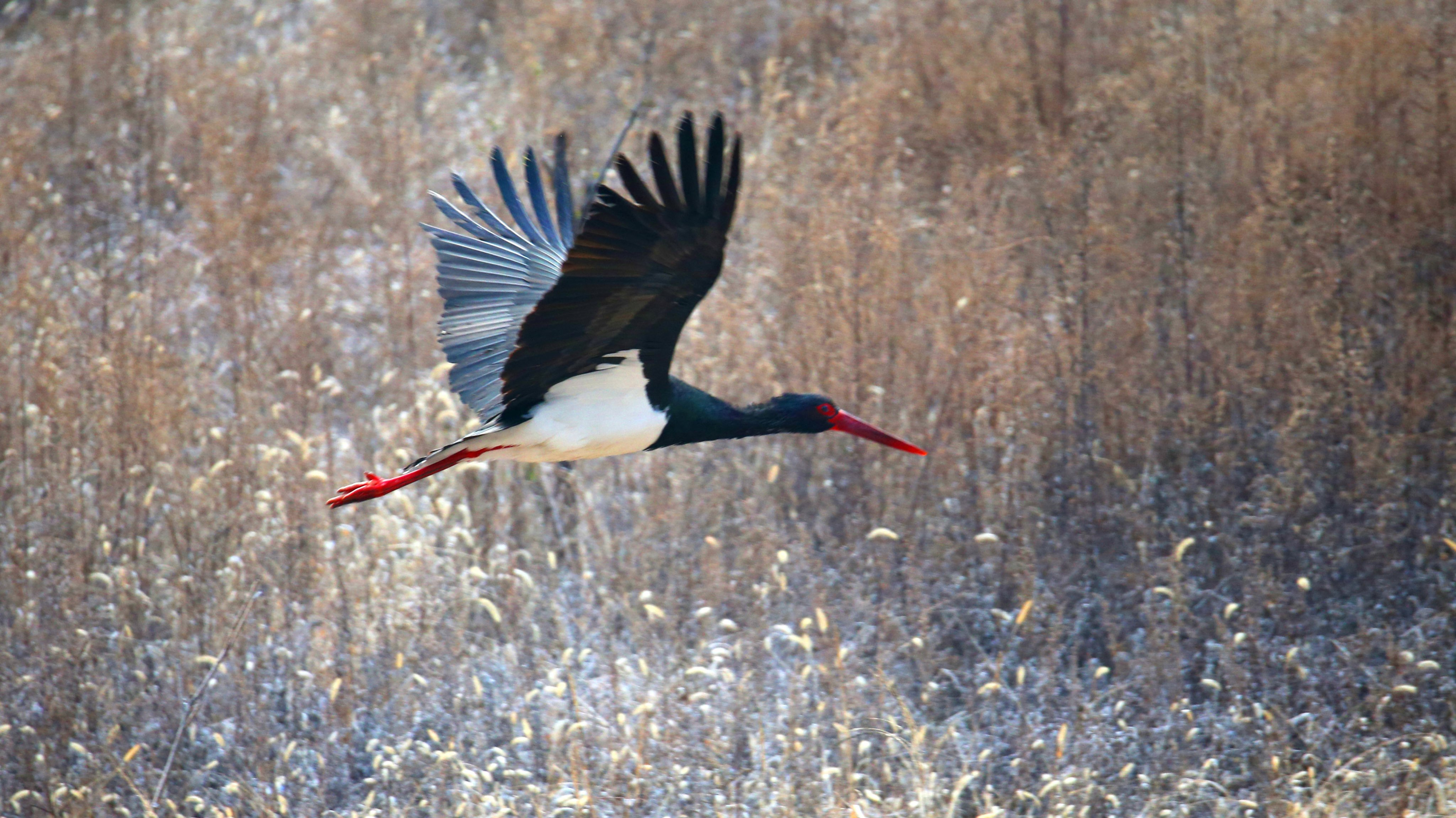 The first class national protected wild animal black storks are finding food in Beijing,China on 01th December, 2020