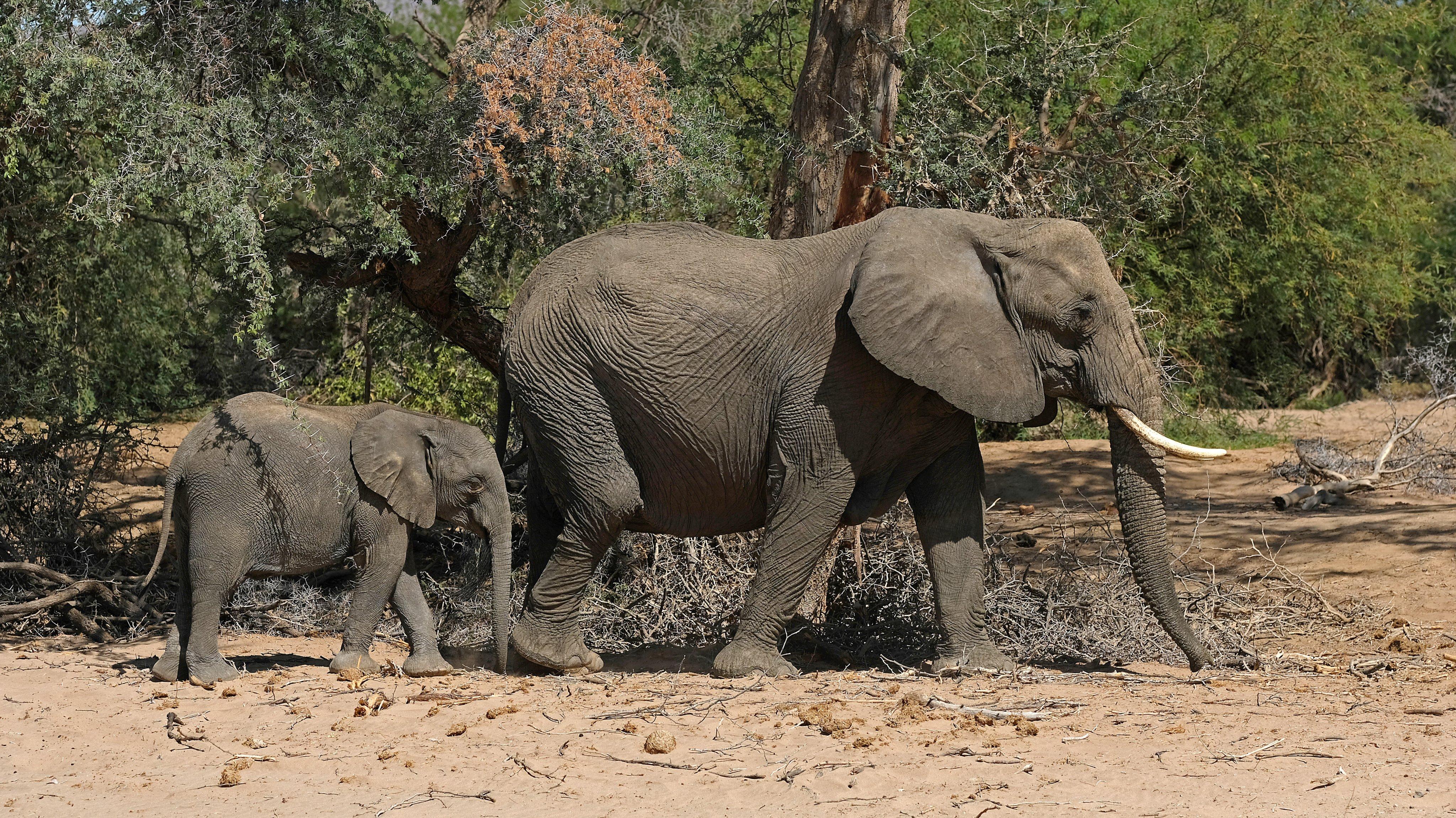 Desert elephants at Twyfelfontein