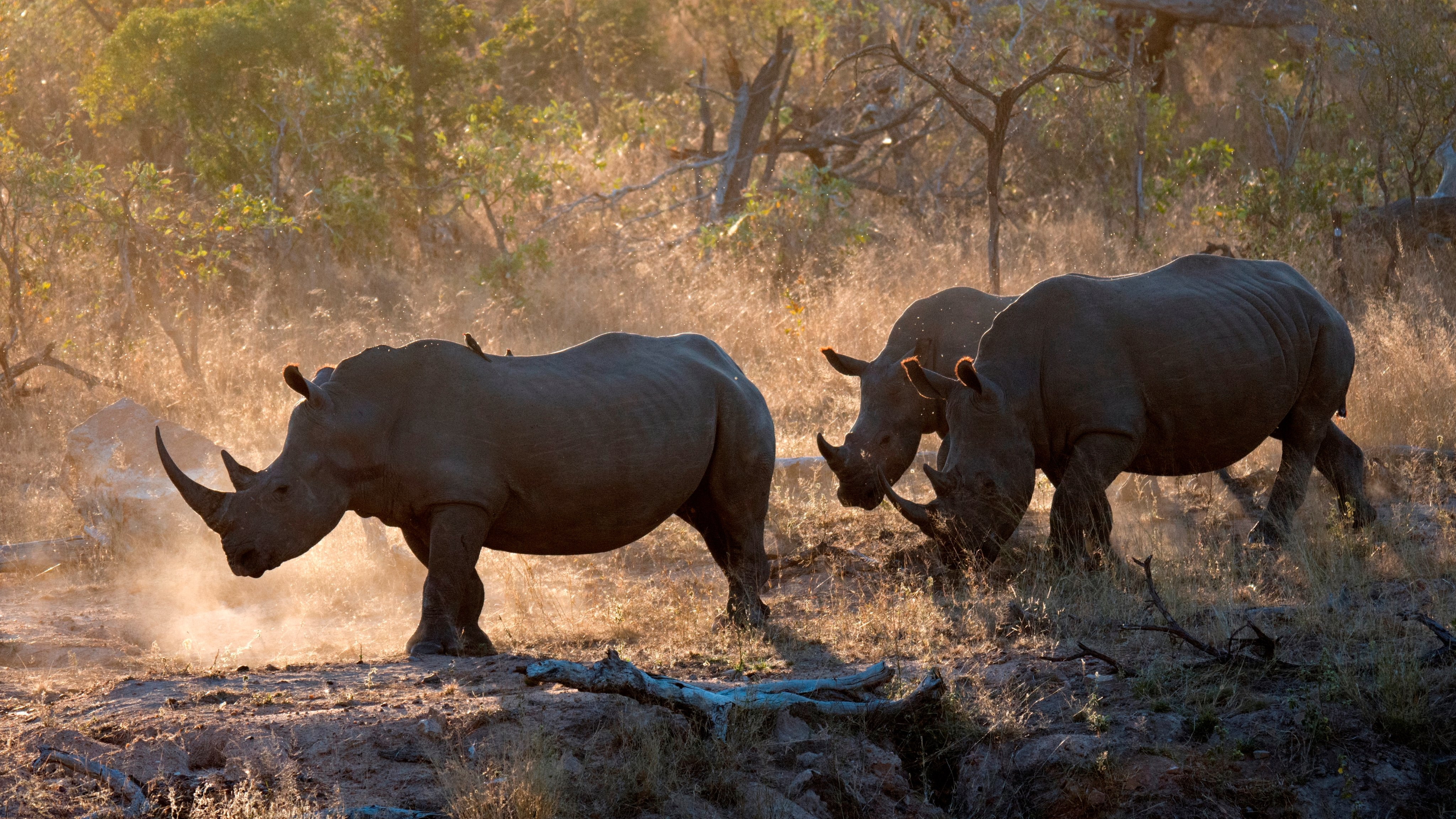 Family of southern white rhinoceros. Ceratotherium simum simum. a threatened species. walks around the savanna at the Kruger National Park. South Africa