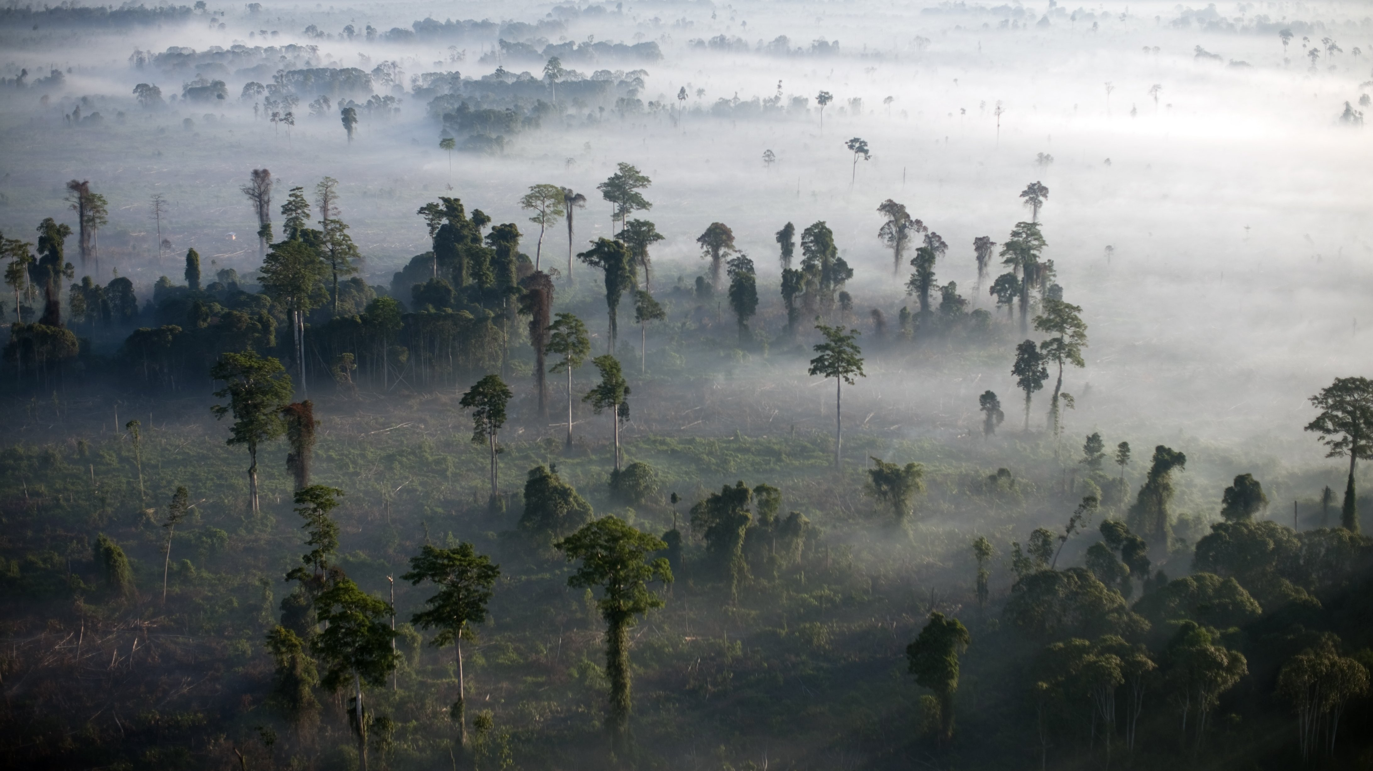 Endangered Forests and Orangutans in Tripa Indonesia