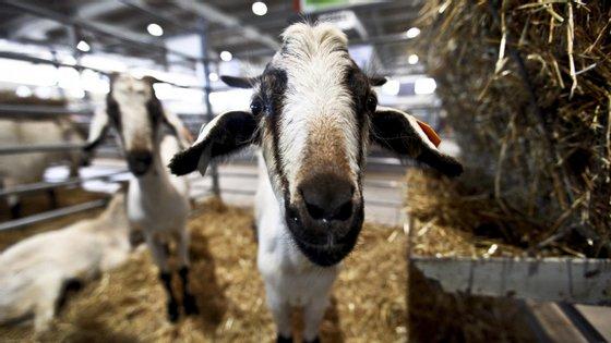 Cerca de meia centena de pessoas assistia ao abate ilegal destes 30 animais, predominantemente de raça caprina.