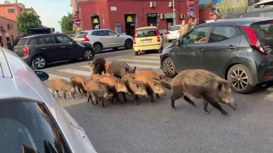 Em maio, um grupo de javalis famintos cercou uma mulher no estacionamento de um supermercado em Formello, uma cidade fora de Roma, e comeu o conteúdo dos seus sacos de compras