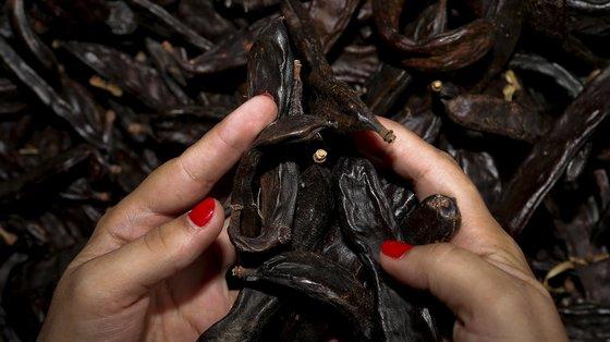 A alfarroba é um dos frutos secos com maior produção no Algarve, Boliqueime, 28 de Setembro de 2013. A obrigatoriedade de inscrição de atividade nas Finanças para a venda de pequenas quantidades de alfarroba está a levar pequenos produtores a ponderarem o abandono da atividade.  (ACOMPANHA TEXTO)  LUIS FORRA/LUSA