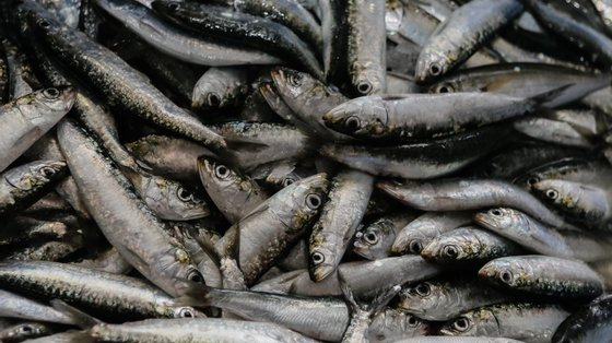 Até 31 de julho o limite global de descargas de sardinha capturada com a arte de cerco vai ser de 10 mil toneladas