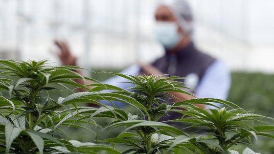A RPK Biopharma conseguiu cultivar canábis medicinal ao ar livre com sucesso em mais de 30 hectares, no concelho alentejano de Aljustrel