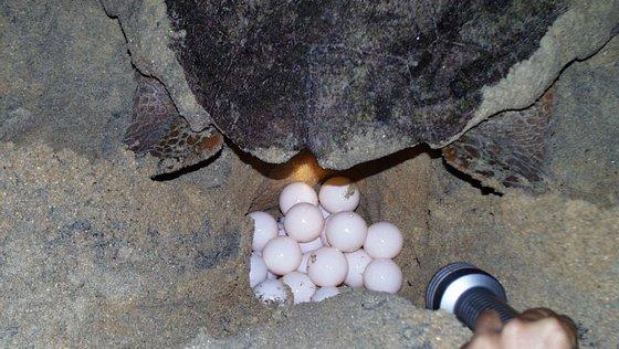 Cabo Verde introduziu legislação para proteger as tartarugas marinhas pela primeira vez em 1987, proibindo a sua captura em épocas de desova