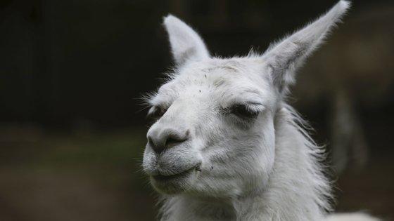 """Os animais infetados com o novo coronavírus e tratados com o spray nasal de """"nanocorpos"""" recuperaram totalmente em seis dias"""