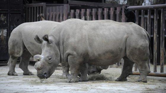 Há cinco exemplares de Rinocerantes Brancos do Norte no mundo inteiro