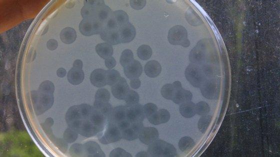 Estafilococos são um dos tipos de bactérias contra as quais o antibiótico teixobatina é eficaz