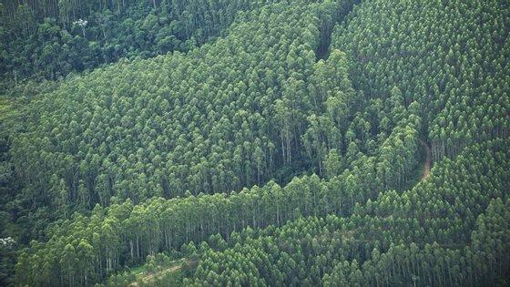 Destino até agora dado pela indústria de celulose à casca de eucalipto tem sido a sua utilização na queima como biomassa