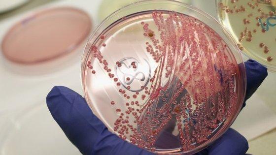 Bactérias Escherichia coli em cultura
