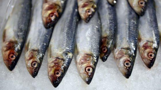 """A sardinha, que tem vindo a diminuir, registou """"um aumento substancial entre o cabo Espichel e Peniche"""""""