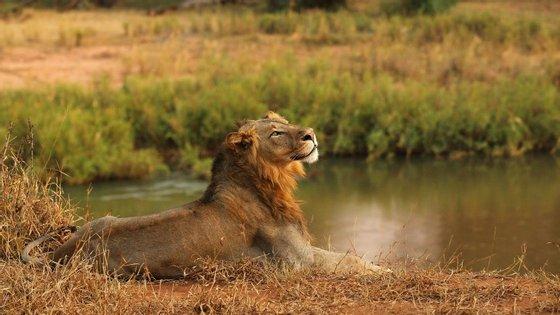 Em estado natural, um leão costuma viver cerca de 12 anos