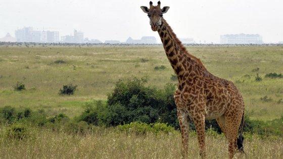 """Os """"sussurros"""" das girafas são quase inaudíveis ao ouvido humano"""