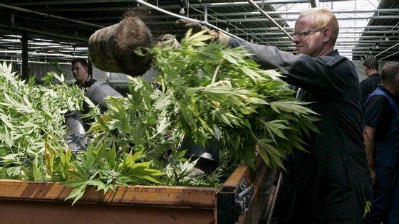 Durante a operação foram, também, encontrados 60 pés de plantas de cánabis