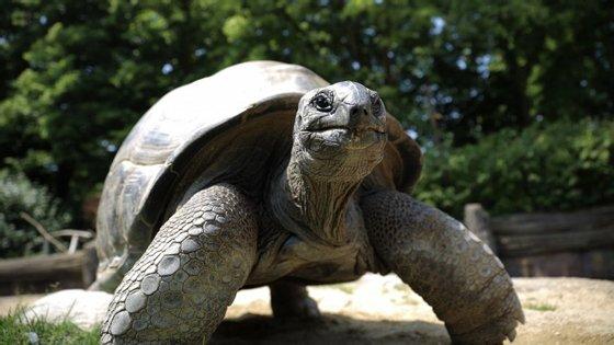 Uma das espécies de tartaruga-gigante-das-galápagos