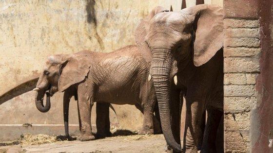 Kandula é o nome do elefante que enfrentou vários quilómetros para encontrar um novo par no jardim zoológico de Oklahoma.