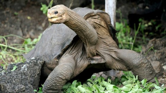 Lonesome George foi o último exemplar da espécie de tartarugas das Galápagos presente na ilha de Pinta. Agora, utilizando ADN semelhante dos animais que habitam outras ilhas, esta espécie pode voltar a casa.