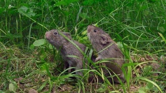 Um novo estudo em ratos do campo refere que os machos desta espécie que procuram fêmeas para além da sua companheira, têm menos memória espacial e esquecem-se que podem ter de enfrentar problemas com outros machos.