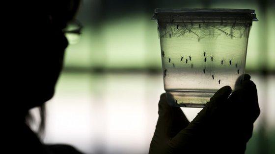 Os mosquitos Aedes são um vector da doença