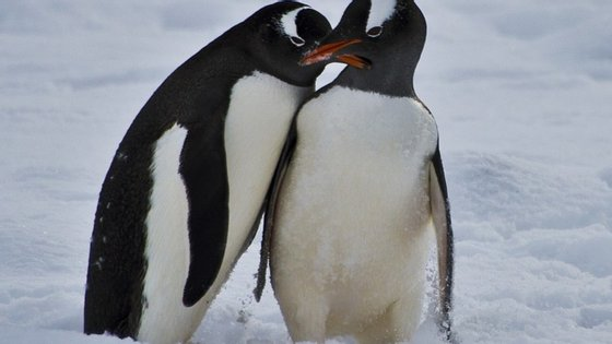 Desde 2011, já morreram 150 mil pinguins na Antárctida. Investigadores dizem que a comunidade pode desaparecer em 20 anos
