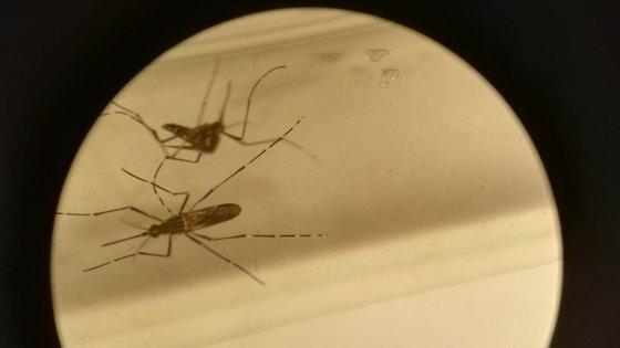 O mosquito Aedes aegypti visto através de um microscópio
