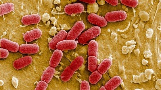 A Escherichia coli é responsável pela maioria das infeções urinárias