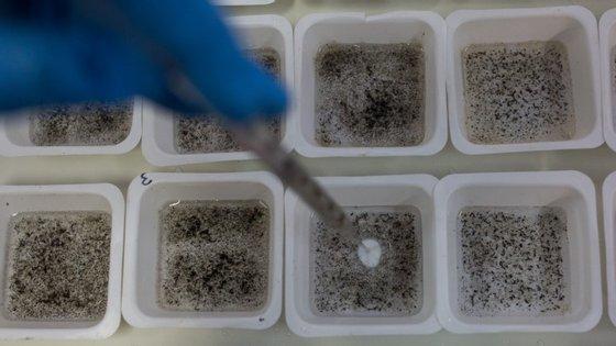 Produção de mosquitos geneticamente modificados no Brasil, onde já estão a ser testados no terreno