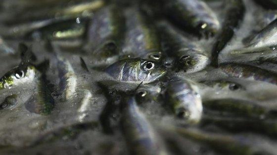 Em 1995, o preço da primeira venda da sardinha era de 0,31€/kg