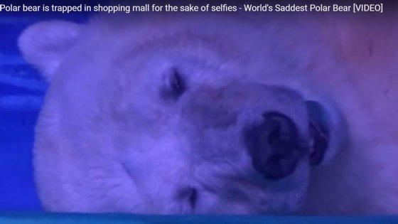 """O urso polar chamado """"Pizza"""", no Aquário Grandview. Créditos: captura de ecrã de vídeo disponível no canal """"all around the web"""" no YouTube"""
