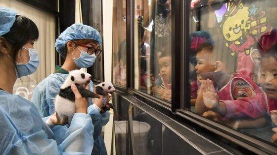Os pandas nasceram com 135 gramas e 53,8 gramas, mas no início desta semana já pesavam 1.010 gramas e 753,6 gramas