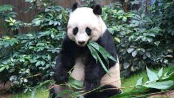 Morreu a panda mais velha do mundo. Contava já 38 anos, o equivalente a 114 anos humanos