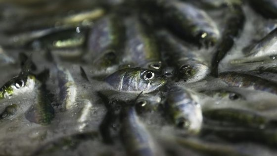 A quota de sardinha ibérica, gerida em conjunto por Portugal e por Espanha, está fixada nas 17 mil toneladas este ano